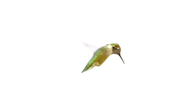 Real Humming Bird with Alpha Matte video
