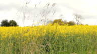 Really Colorful yellow rape flowers growing in a field video