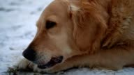 Really cute golden retriever dog lying in the snow and chewing a stick video