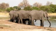 Rear view of elephants in a row drinking in a river in the Okavango Delta video