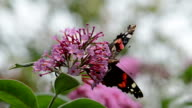 red admiral butterfly (Vanessa atalanta) video