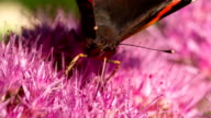 SLOW MOTION: Red Admiral Butterfly video