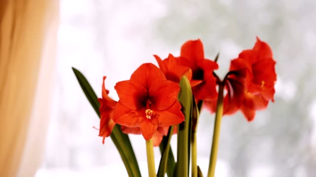 Red Amaryllis and Snowing Outside video