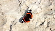 red and black butterfly on the sand video