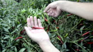 Red and Green Chilli video