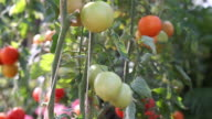 Red and green tomatoes on the vine. Agricultural farm for harvesting video