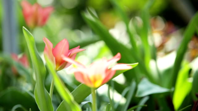 red and pink tulips blowing in the wind video