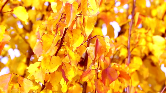 Red and Yellow Autumn Leaves video