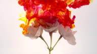 Red and yellow ink mixing together with spring blossom on white background video