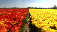 CLOSE UP: Red and yellow radiant colorful tulips separated by small walkway video