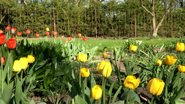 Red and yellow tulip flowers in sunny spring park, garden video