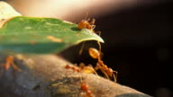 Red Ant video