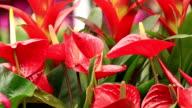 red anthurium flower in botanic garden (anthurium andraeanum, araceae orarum) video