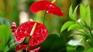 red anthurium flower in botanic garden video