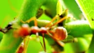 Red Ants Herds a Farm of Aphids video