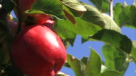 red apple - close up video