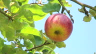 Red apple on tree video