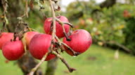 Red apple trees autumn video