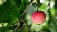 Red apple with rain drops on the tree. Slowmotion. Fruit tree video