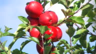 red apples - close up and zoom video