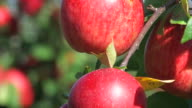 red apples - close up video