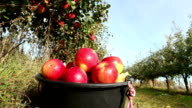 Red apples in a bucket video