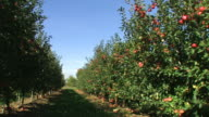 red apples in a row - agriculture on an orchard video