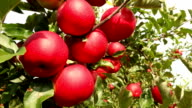 Red Apples in strong wind video