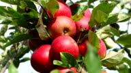 red apples in wind video