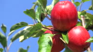 red apples on a branch video