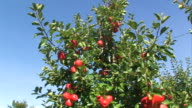 red apples on a tree video