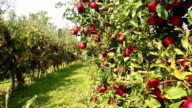 Red apples on orchard video