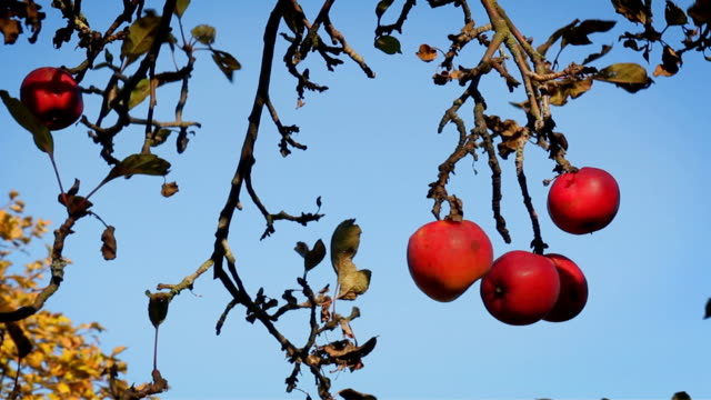 Red apples on the tree, autumn season. video