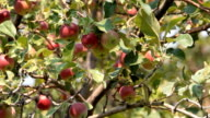Red apples on tree P HD 2056 video