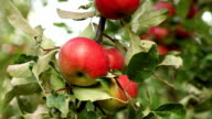 Red apples video