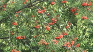 Red ashberry. video