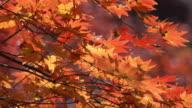 Red autumn leaf lighted up by sunshine in Obara, Nagoya, Japan. video