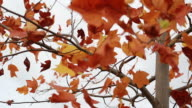 Red Autumn Leaves Swaying In The Wind video