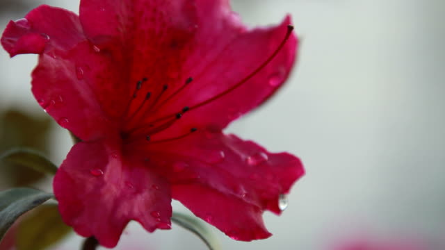 Red Azalea with Droplets of Dew video