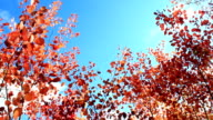red beautiful leaves of aspens in the autumn in the forest video