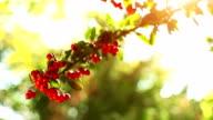 Red berries video