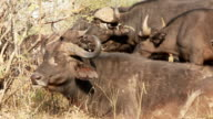Red Billed Oxpecker video