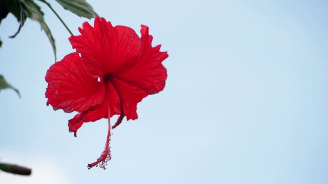 Red blossom flower hibiscus video