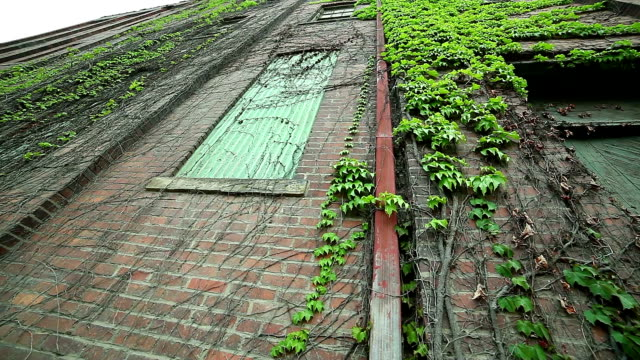 Red bricks old building with green ivy on the walls video