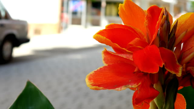 Red canna indica in the city video