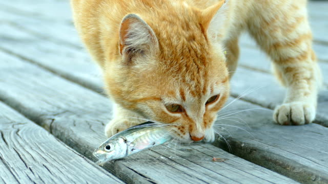 Red cat after a successful fishing video