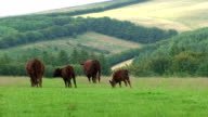 Red Cattle video