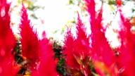 Red Celosia Argentea video