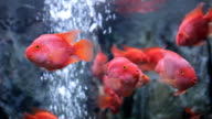 red cichlid fish, ruby red peacock fish video