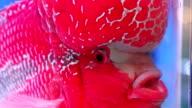 red cichlid flowerhorn crossbreed fish video